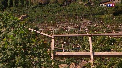 Un vignoble unique en Vallée d'Aoste