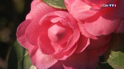 Une floraison précoce des camélias dans l'Ouest