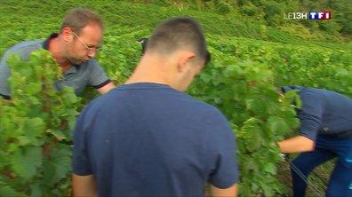 Une vendange au programme pour commencer l'année au lycée professionnel viticole d'Avize