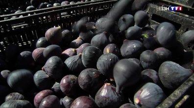 Var : la saison des figues est officiellement ouverte