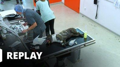 Vétérinaires, leur vie en direct - Le malaise inquiétant de Filou, le Bouvier Bernois...