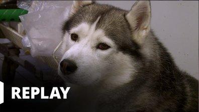 Vétérinaires, leur vie en direct - L'accident de voiture de Jack le husky