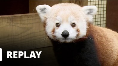 Vétérinaires, leur vie en direct - La maladie mystérieuse de Jiang, le panda roux
