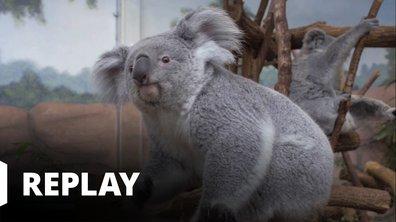 Vétérinaires, leur vie en direct - Le voyage extraordinaire de Mundoe le koala