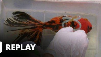Vétérinaires, leur vie en direct - l'attelle de Sakura, le poisson rouge
