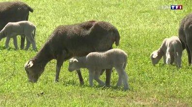Vol d'agneaux : la colère des éleveurs de Camargue