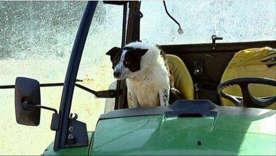 Insolite : Un accident causé par... un chien conduisant un tracteur