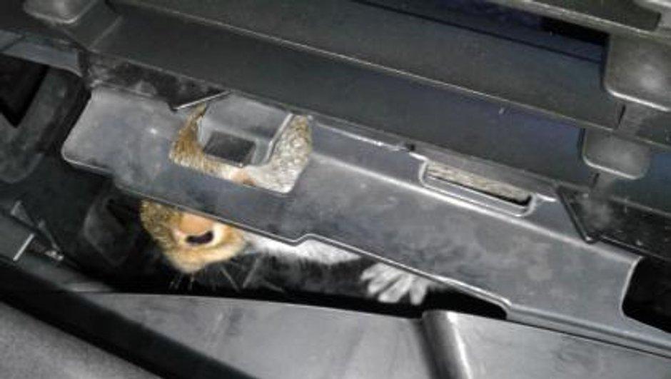 Insolite : un écureuil retrouvé vivant dans une VW Polo