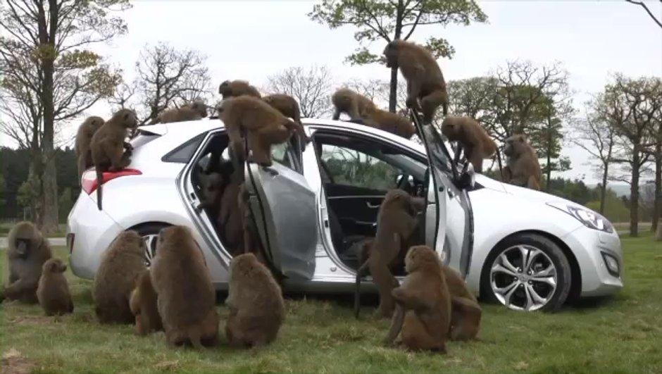 Vidéo : la Hyundai i30 teste sa solidité avec des babouins !