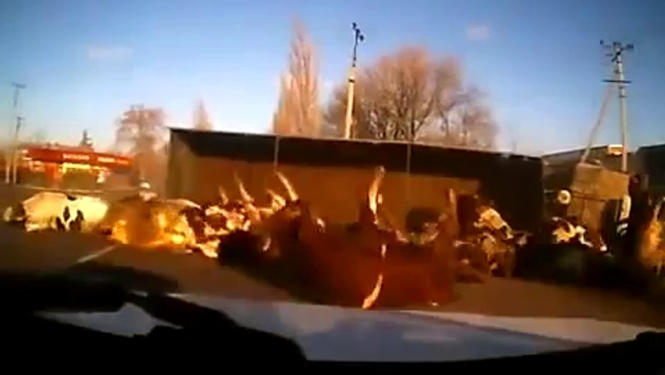 Vidéo Insolite : un camion se renverse avec des vaches !