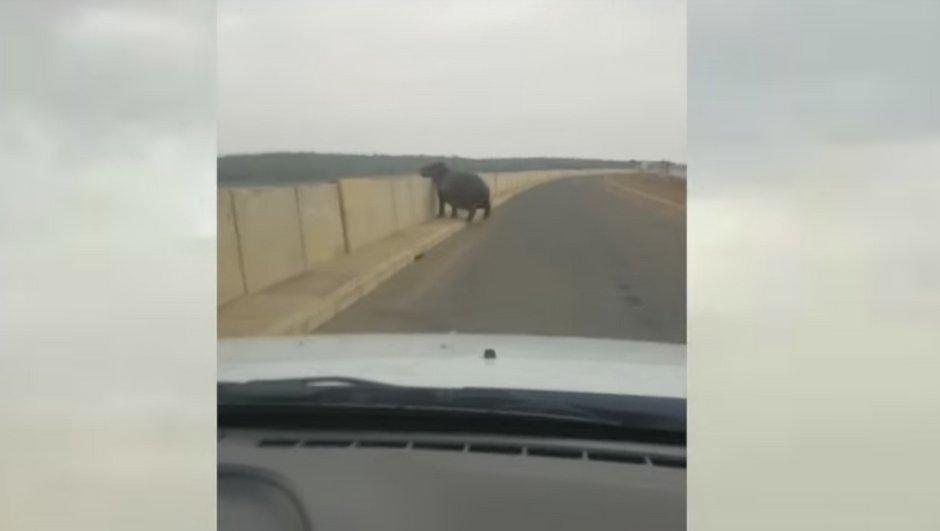 Vidéo insolite : Un Ford Ranger détruit par un...hippopotame