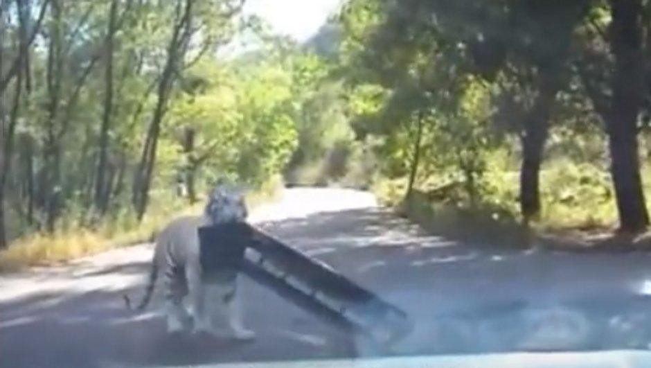 Un tigre s'attaque au pare-chocs d'une Volkswagen Jetta
