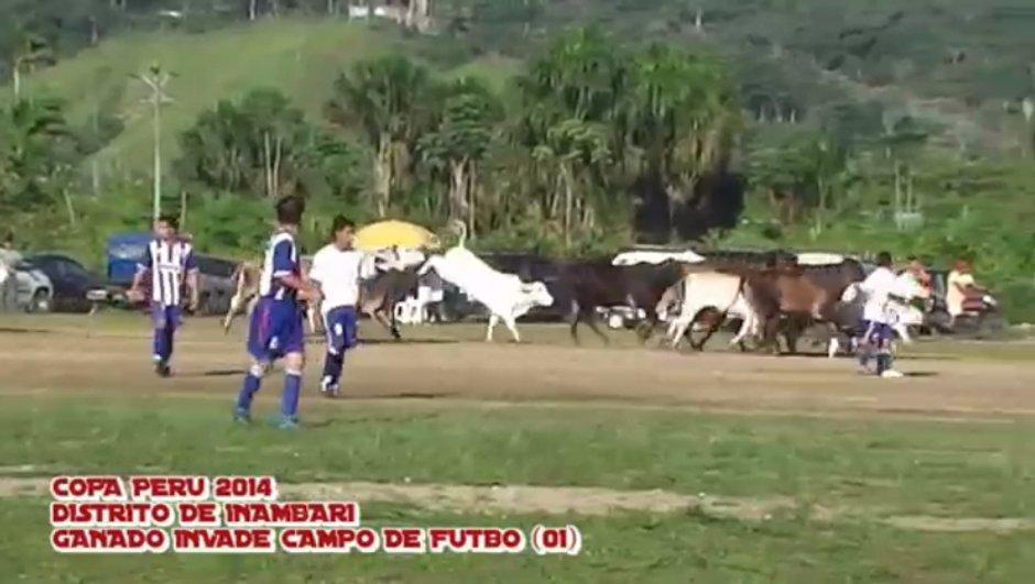 Vidéo insolite : Un troupeau de vaches envahit le terrain en plein match